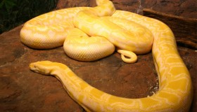 burmese_python_yggpp2
